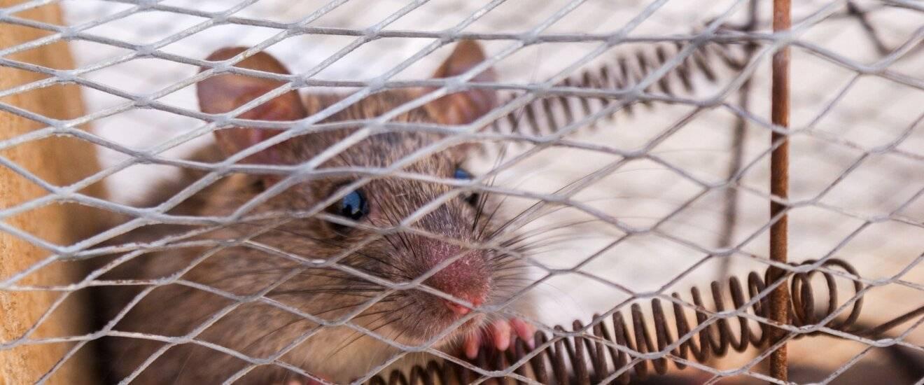 Выбор лучшей приманки для мышей