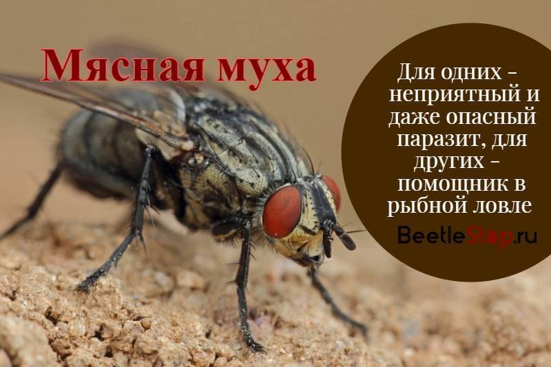 Морковная муха – как с ней бороться. профилактика, препараты и народные средства