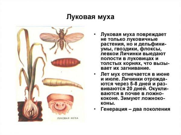 Самые распространенные и опасные вредители лука