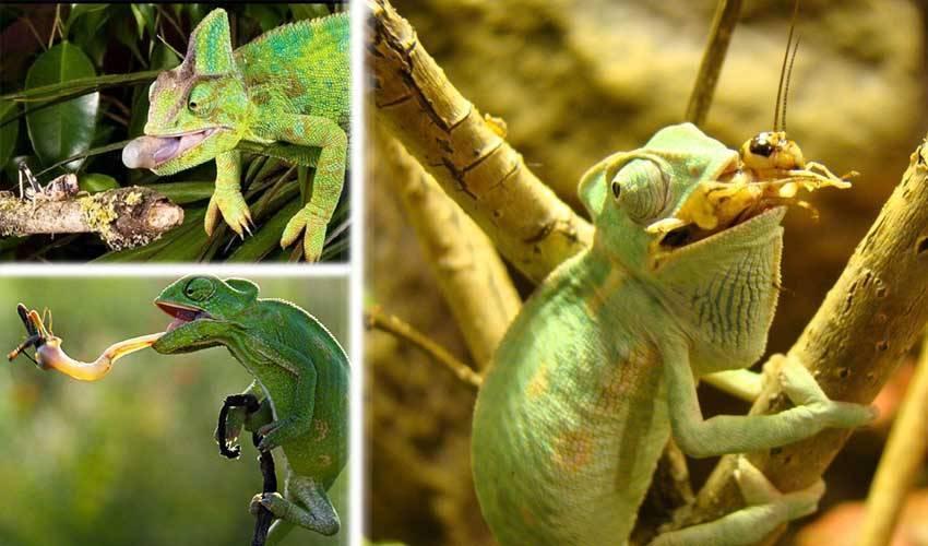 Разведение домашних тараканов на корм домашним животным. мраморный кормовой таракан — отличная еда для ваших домашних варанов и ящериц кормовые тараканы