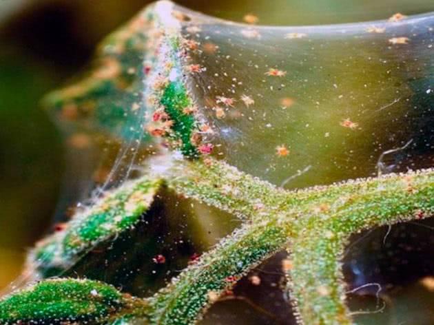 26 лучших народных средства в борьбе с паутинным клещом — отзывы садоводов и огородников