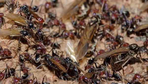 К чему снится муравьи?