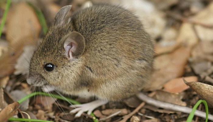 Самая маленькая мышка