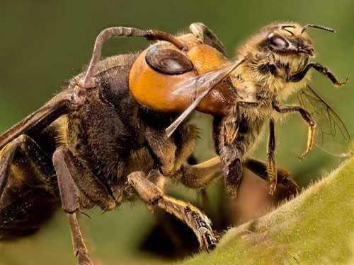 Эффективные методы борьбы с шершнями