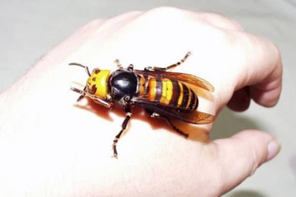Укус осы: что делать и как избежать