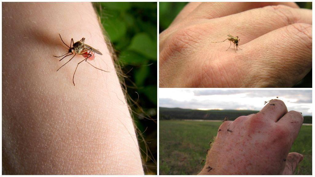 Чем самка комара отличается от самца