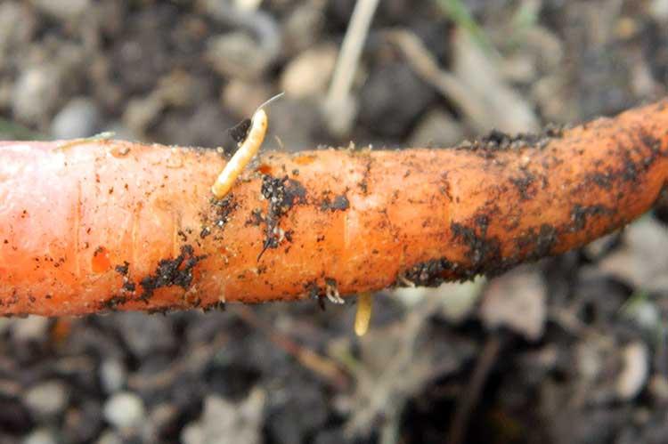 Опасные болезни и вредители моркови