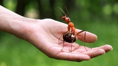 Сколько живут муравьи и где они живут, анатомия и описание этих насекомых.