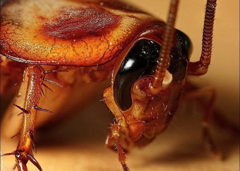 Как бороться с рыжими тараканами в квартире