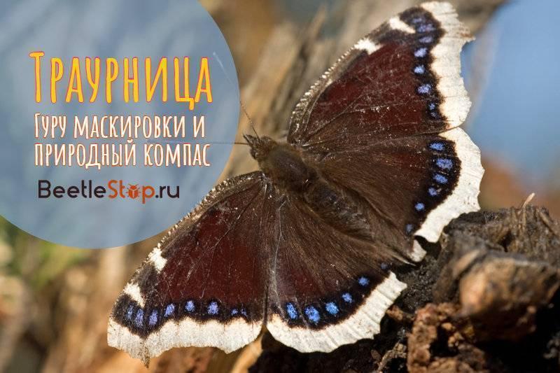 Бабочка лимонница — описание, среда обитания, виды