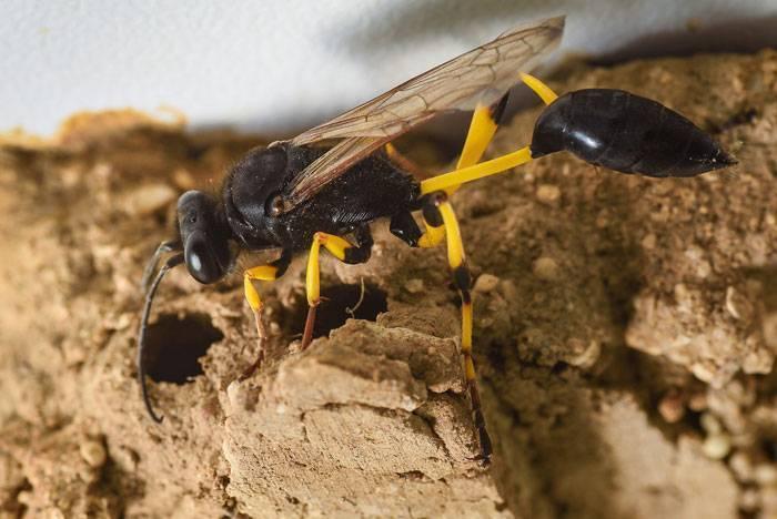 Пелопей обыкновенный: внешний вид и жизненный цикл роющей осы