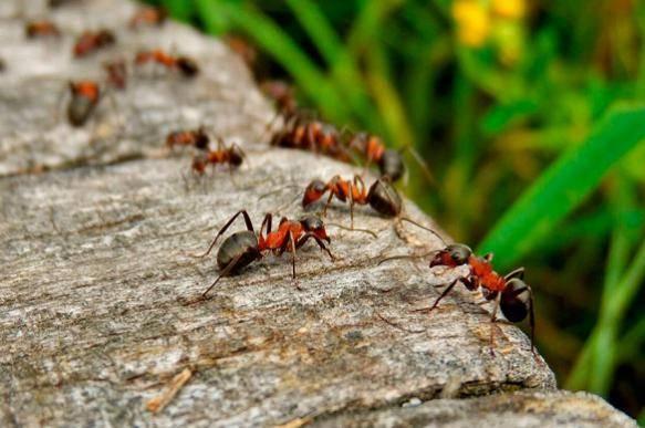 Средства от желтых муравьев в квартире и саду