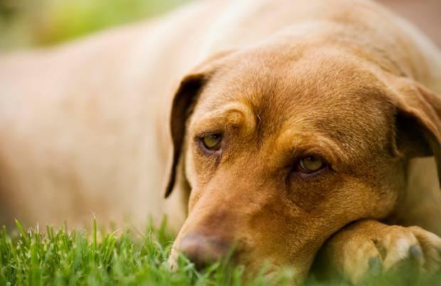 Пироплазмоз у собак, клещи у собак