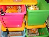 Чем питаются сверчки дома. основные правила разведения сверчков в домашних условиях