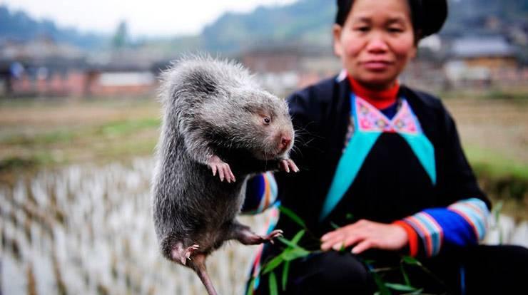 Гигантская африканская сумчатая крыса