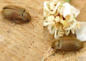 Как спасти урожай от малинного жука