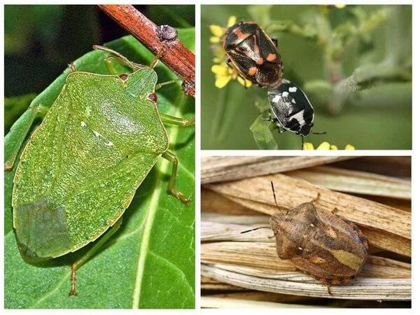 Как выглядят на фото клопы разных видов? описание их особенностей, мест обитания, представляют ли опасность для человека