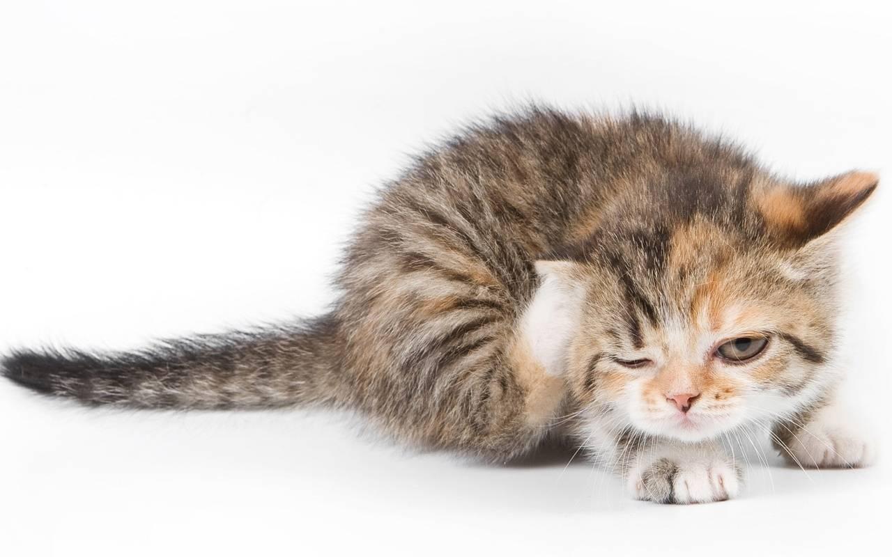 Блохи у кошки: маленькие, но опасные кровопийцы