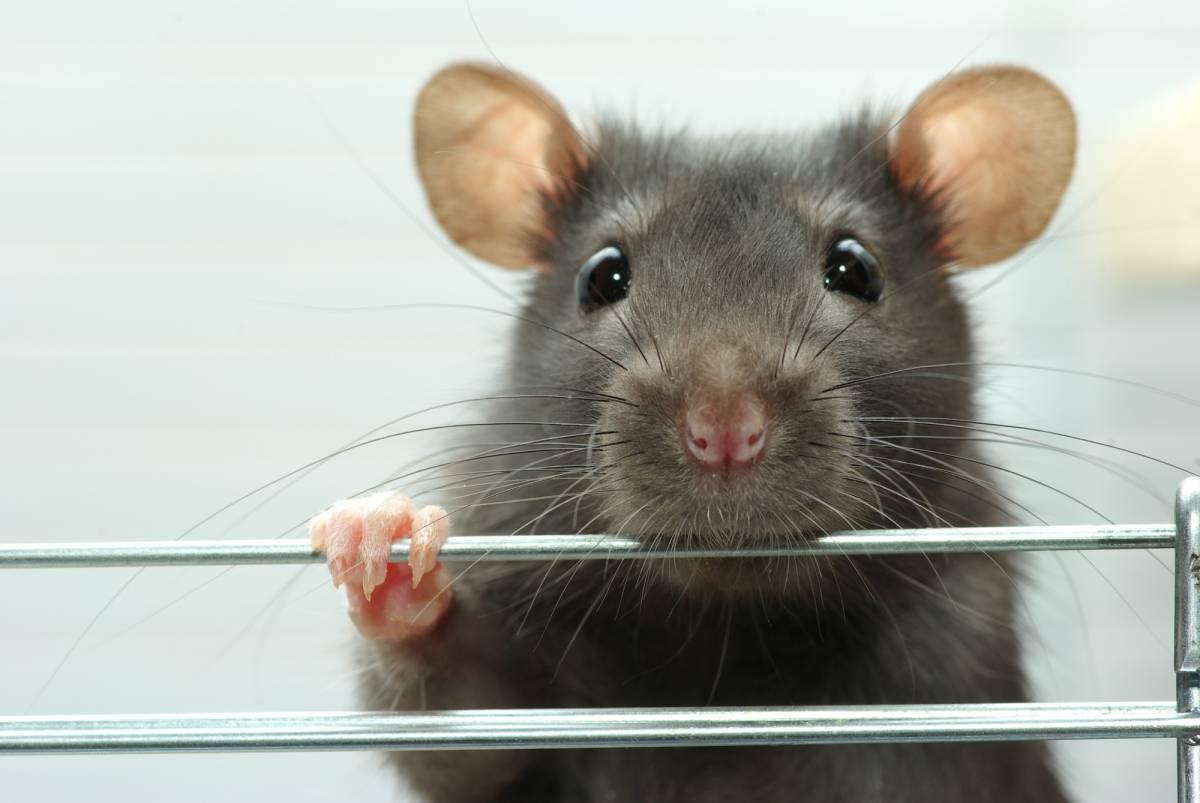 Они не любят сыр! интересные факты о мышах