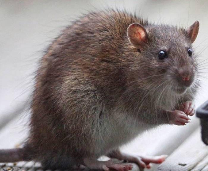 Убойные народные рецепты против крыс