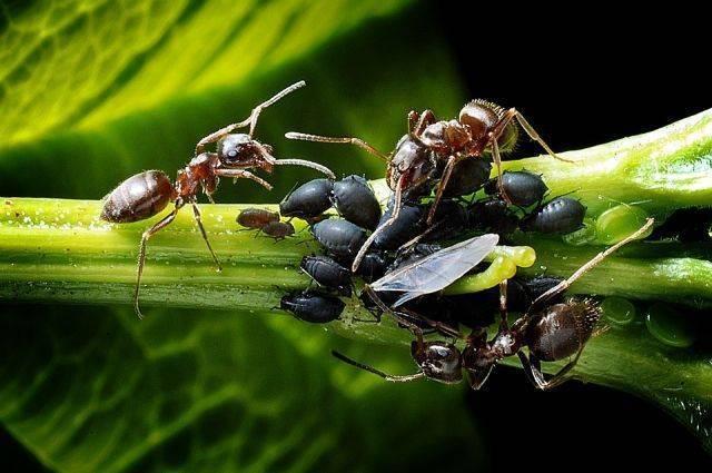Как избавиться от муравьев на смородине
