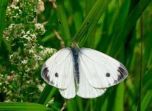 Как выглядит бабочка-капустница: описание и жизненный цикл