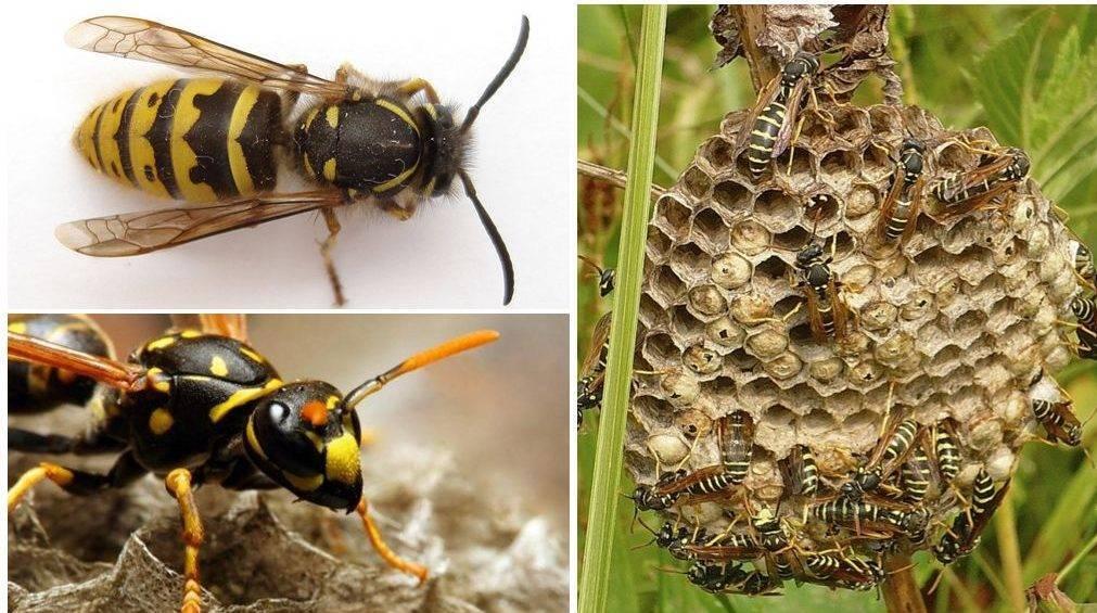 Жало пчелы – орган для самозащиты насекомого