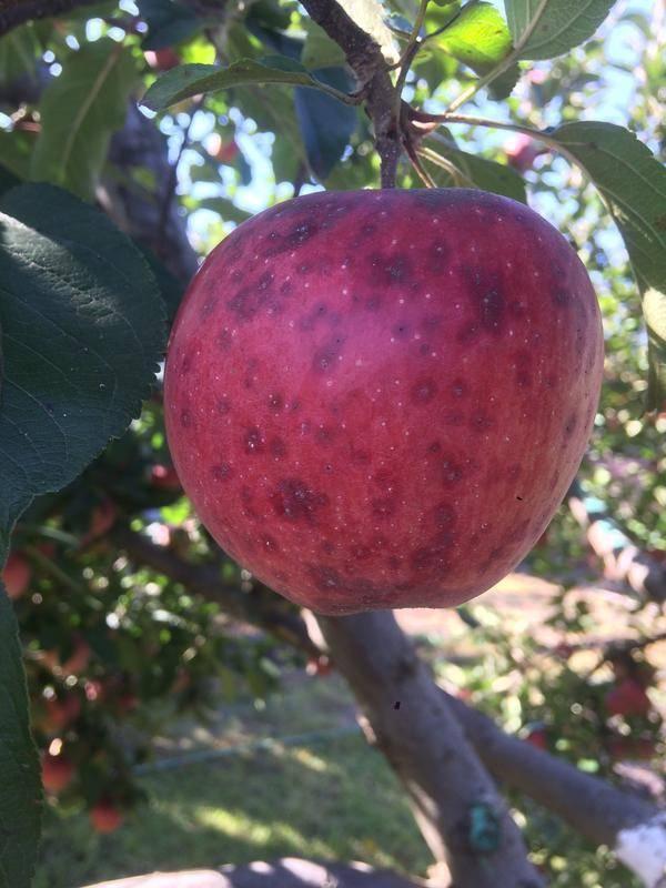 Как избавиться от запятовидной щитовки на яблонях народными и нехимическими средствами