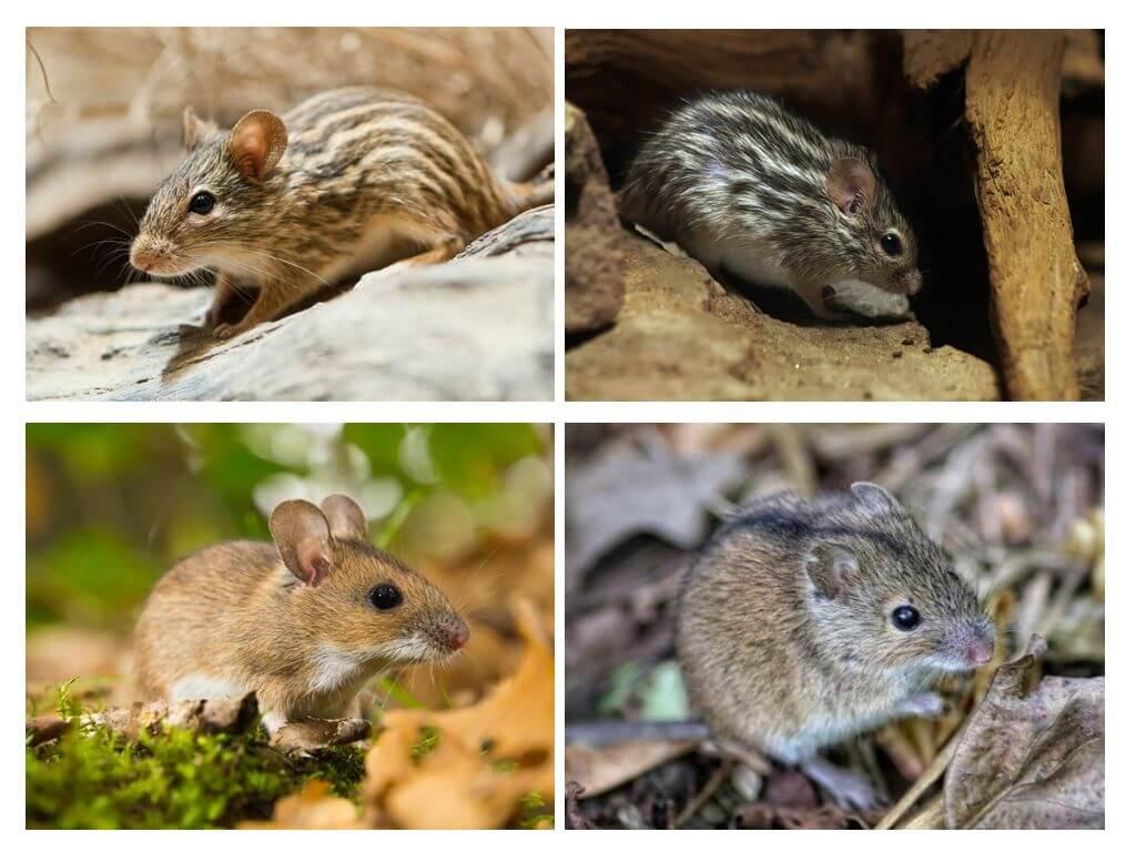 Что едят мыши