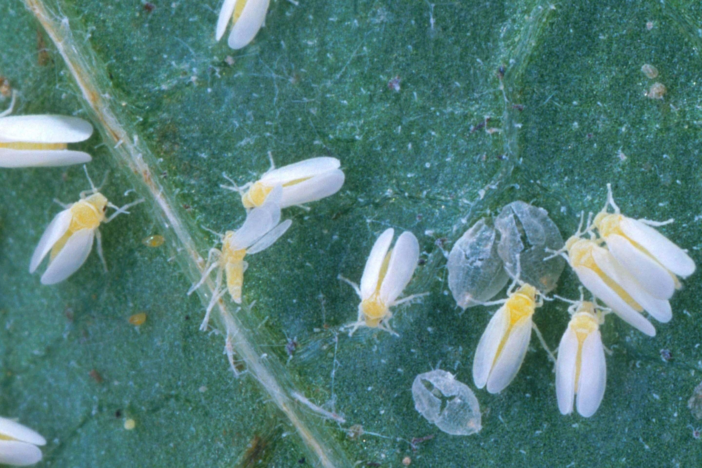 Вредитель тля белокрылка: описание, как выглядит, как размножается, разновидности, как избавится в домашних условиях? какие методы и средства борьбы самые эффективные?