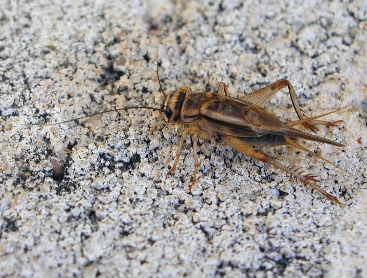 Почему кузнечики стрекочут ночью. мелодичный звук сверчка, или музыкальные способности насекомого