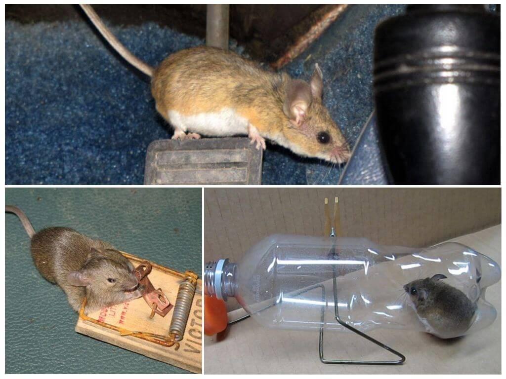 Как вывести мышей из дома: самые эффективные способы
