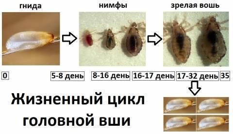 Как быстро размножаются вши