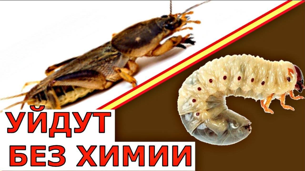 В чем отличие личинки майского жука и медведки?