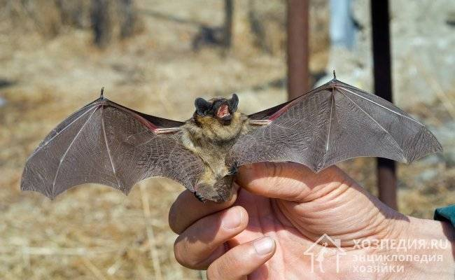 Как поймать летучую мышь самостоятельно