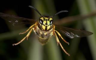 Что означают осы в сновидениях