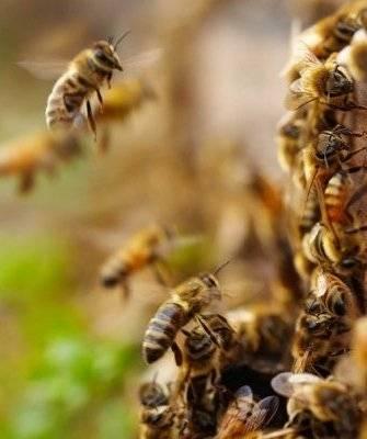 Среднерусская порода пчел: её главные особенности