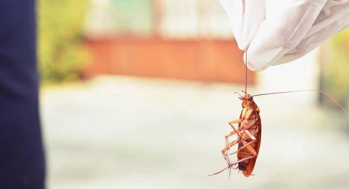 Как использовать лавровый лист от тараканов