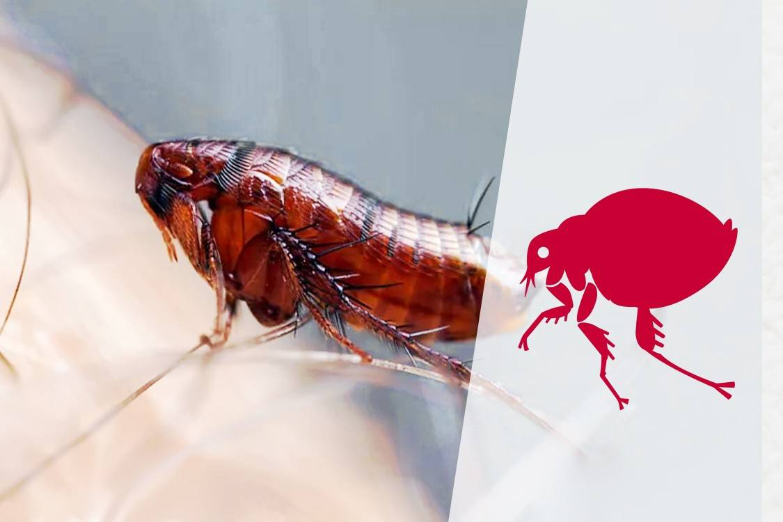 Большой вред от маленьких паразитов, или как избавиться от подвальных блох