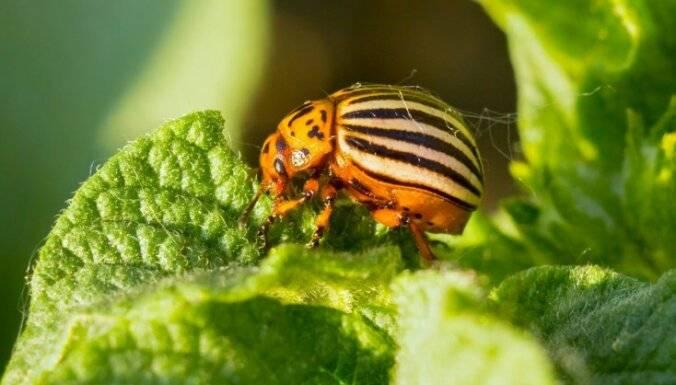 Колорадский жук, борьба с ним, средства, препараты