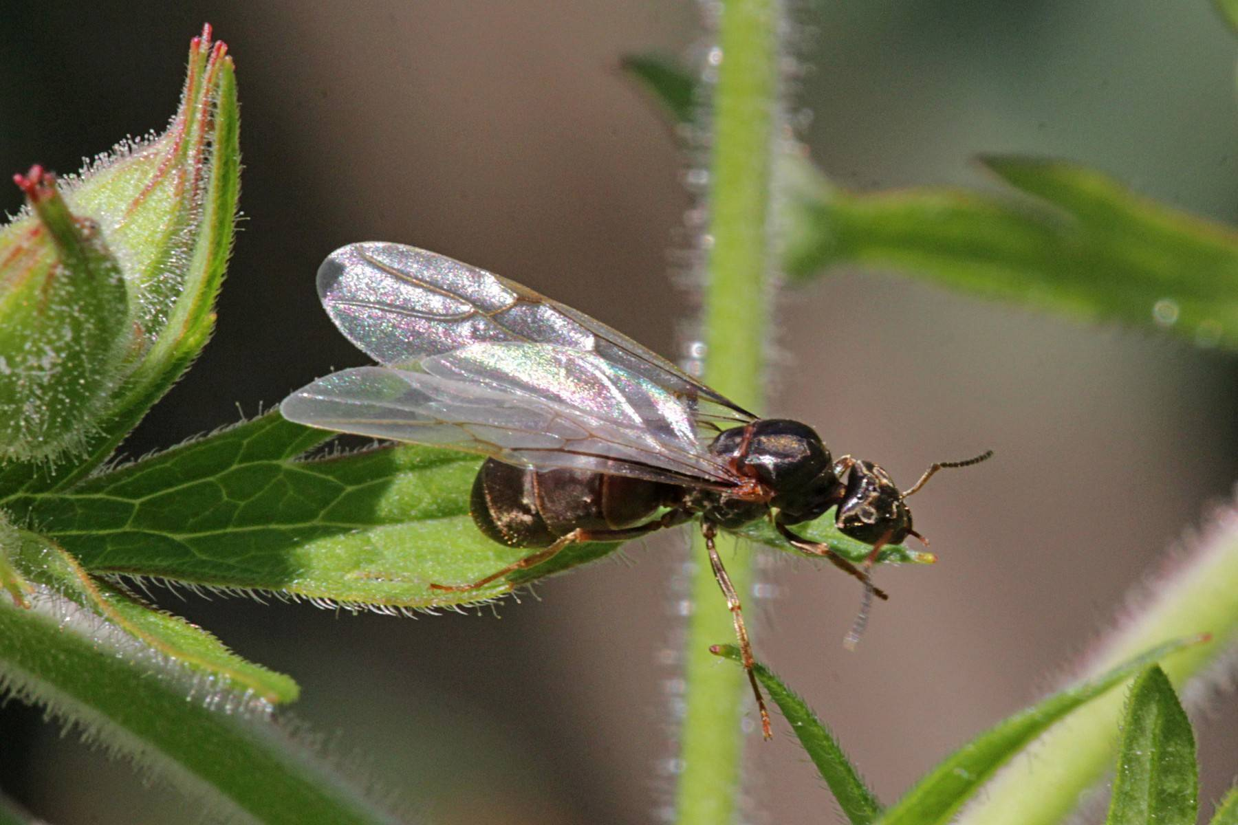 Летающие муравьи, таблица лета муравьев