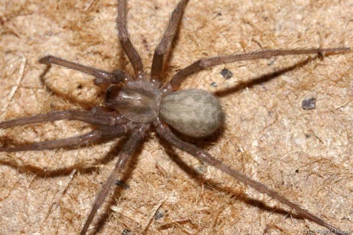 Домовый паук – самый терпеливый охотник