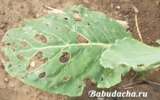 Лучшее средство от белокрылки в огороде и в теплице
