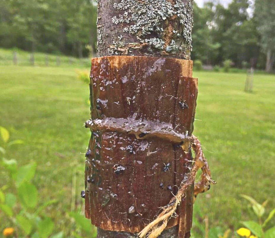 Мегаэффективный березовый деготь в огороде от вредителей