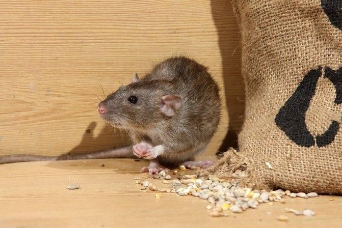 Как навсегда избавиться от мышей и крыс в гараже