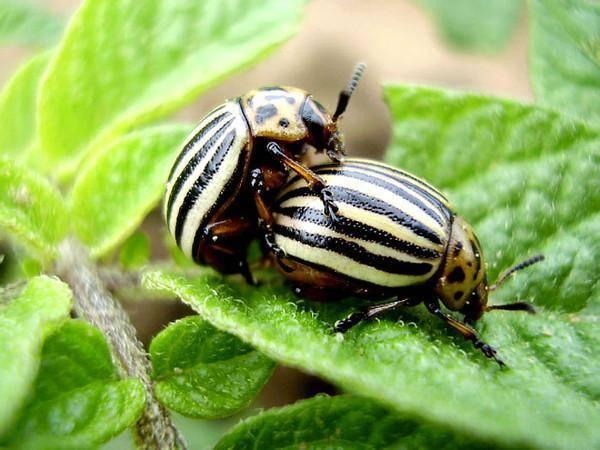 Инсектицид апачи