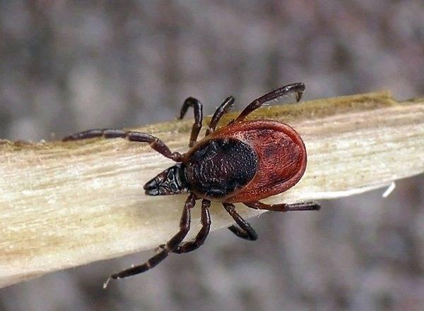 Массовое сезонное появление в лесах оленьей кровососки (лосиной блошки)
