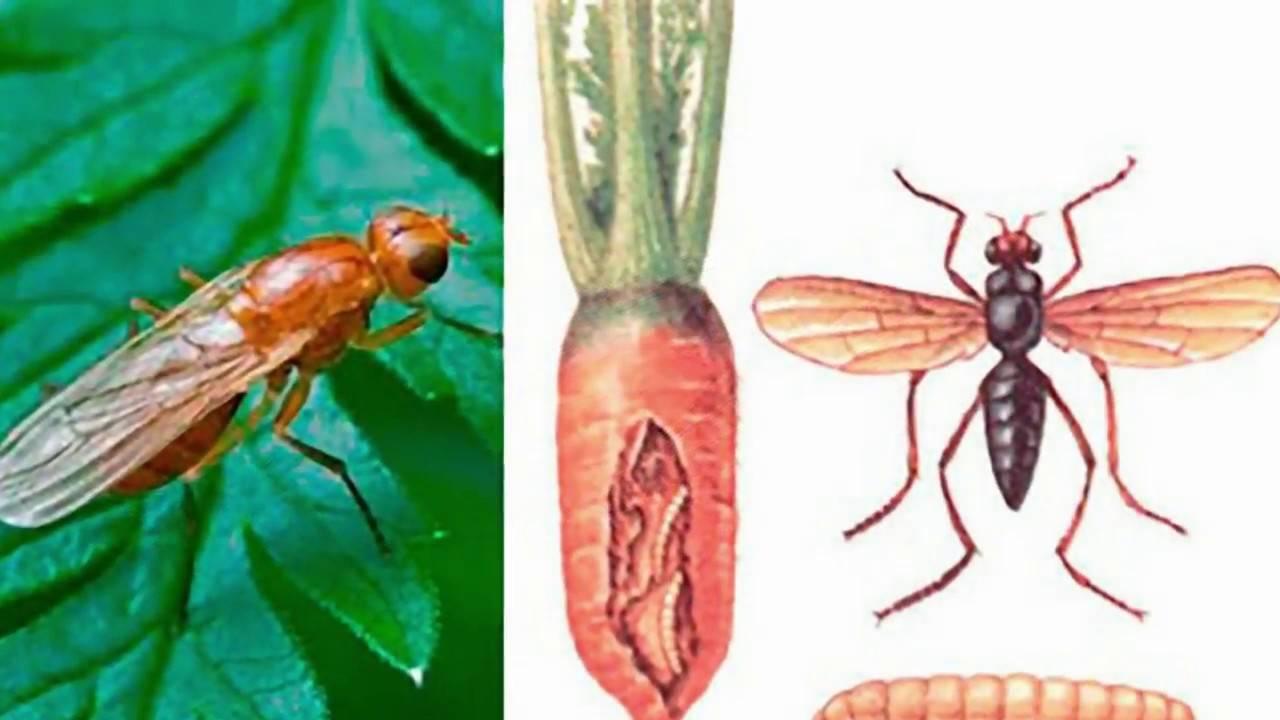 Морковная муха—как с ней бороться эффективно