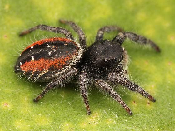 Паук-скакун обыкновенный. паук-скакун – самый стремительный представитель своего семейства паук со счастливым лицом