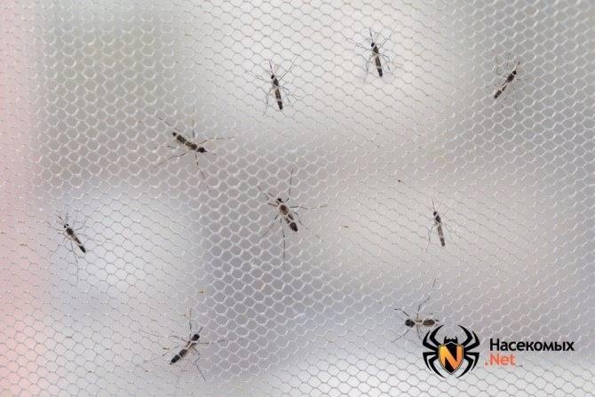 Почему комары роятся. как размножаются комары: особенности, характерные для летающих кровососов
